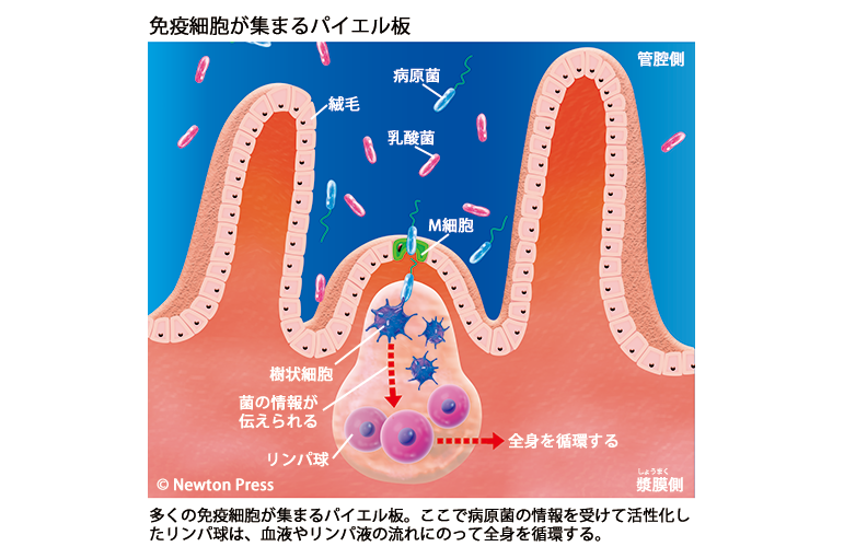 免疫細胞が集まるパイエル板