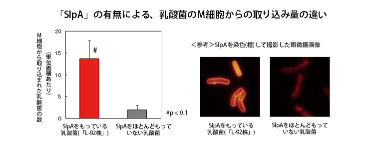 SlpAの有無による、乳酸菌のM細胞からの取り込み量の違い