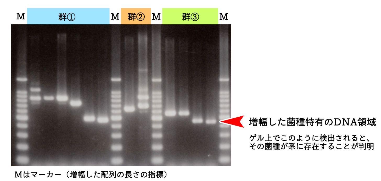 3群にわけた12菌種を一度に検出できるマルチプレックス法の結果
