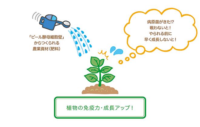 植物は「ビール酵母細胞壁」を病原菌と勘違いする!?