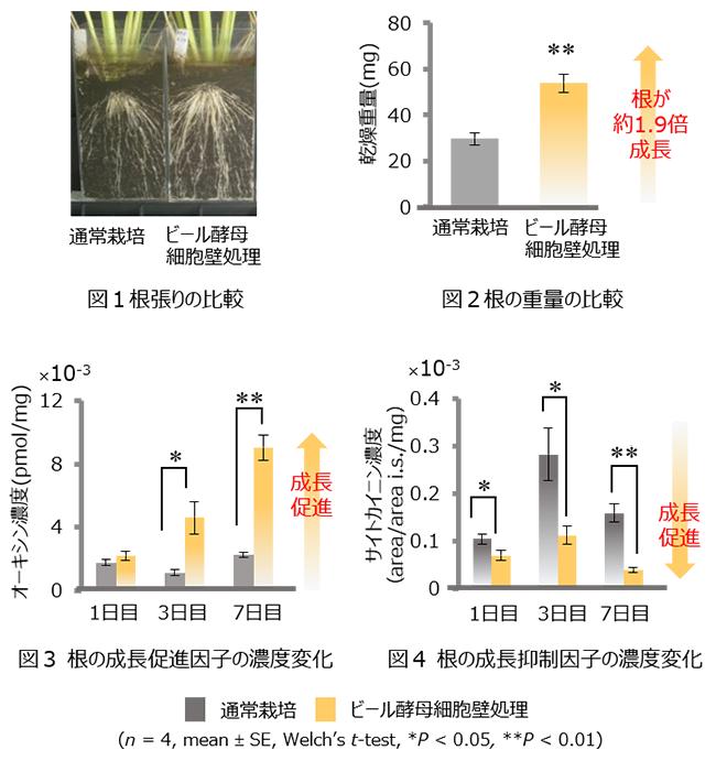 「ビール酵母細胞壁」がイネの成長促進因子を増やし、根の成長を促す