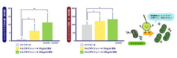 図3 りんごポリフェノールの正常軟骨細胞への効果 (左:ミトコンドリアDNA量の増加、右:ミトコンドリア活性の向上)