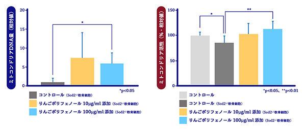 図4 りんごポリフェノールのミトコンドリア機能欠損軟骨細胞への効果 (左:ミトコンドリアDNA量の増加、右:ミトコンドリア活性の向上)