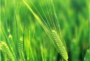 ビールの香味劣化を防ぐ麦芽製造法を開発