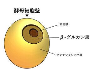酵母の図解イラスト、酵母細胞壁の内側に有効成分となる「β-グルカン層」がある